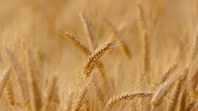 Negyvennyolc őszi búzát teszteltek az idei kísérletben