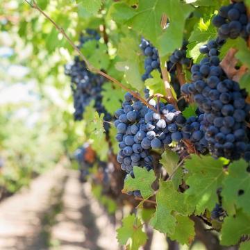 November végéig lehet pályázni a szőlő szerkezetátalakítási támogatásra