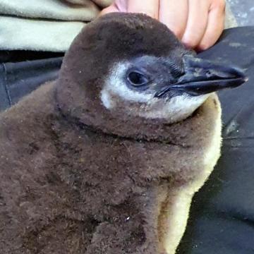 Pingvinfióka kelt ki azt Szegedi Vadasparkban
