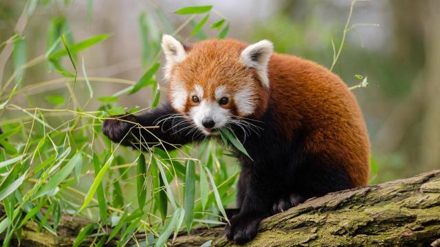 Vörös pandák kerültek a Pécsi Állatkertbe