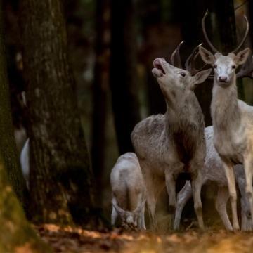 Osztrák vadaskertben nevelt szarvasbikával csaptak be egy francia vadászt Zalában