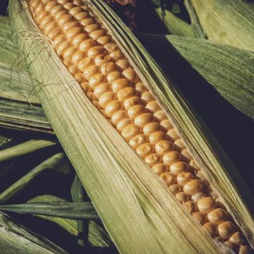 Történelmi rekord a 2020-as kukoricahozam
