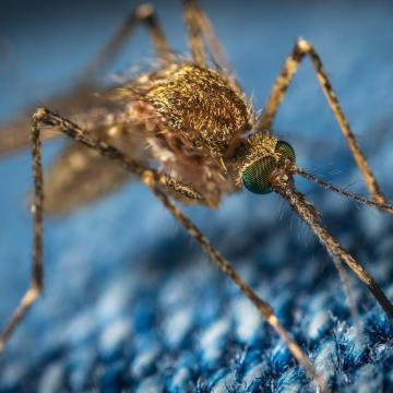Folytatódik a szúnyoggyérítés a Duna mentén